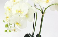 Large White Orchid Plant