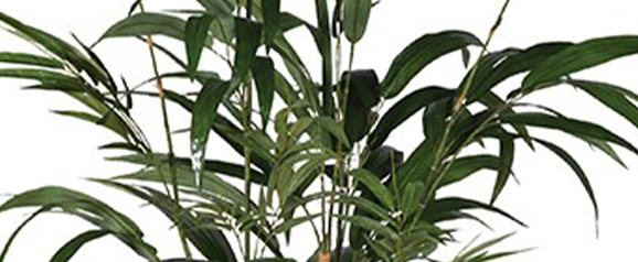 Green Bamboo Palm